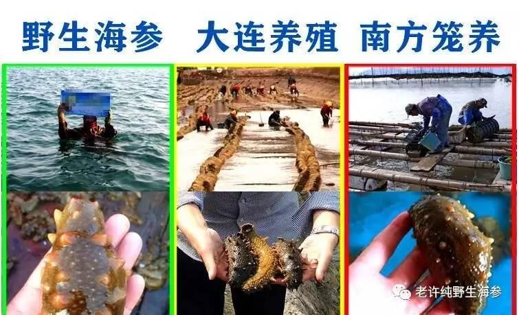 海参品种的定义.jpg